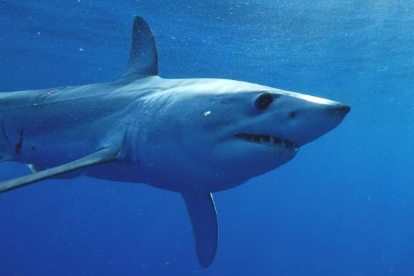 Mako shark makes 13,000-mile trek across Atlantic Ocean