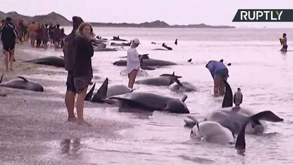 New Zealand whales: Hundreds refloat on high tide at Farewell Spit