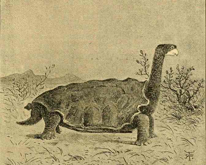 Galápagos giant tortoises show that in evolution, slow and steady gets you places