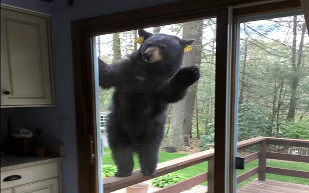'Angry' bear tries to break into home of woman baking brownies