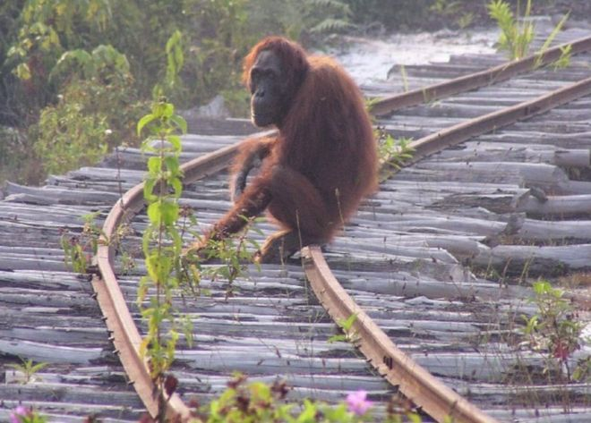 '100,000 orangutans' killed in 16 years
