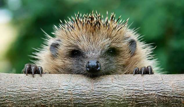 Roadhogs… watch out for hedgehogs crossing! Signs warning drivers to be aware of wildlife will appear across UK in a bid to boost declining numbers